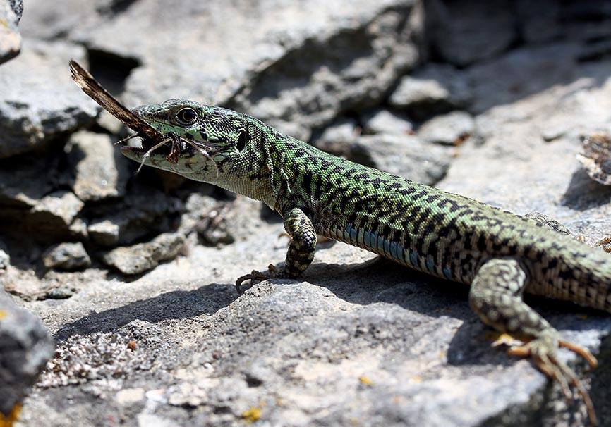 Podarcis erhardi  - Kykladeneidechse - Amorgos - Lacertidae - Eidechsen - Lizards
