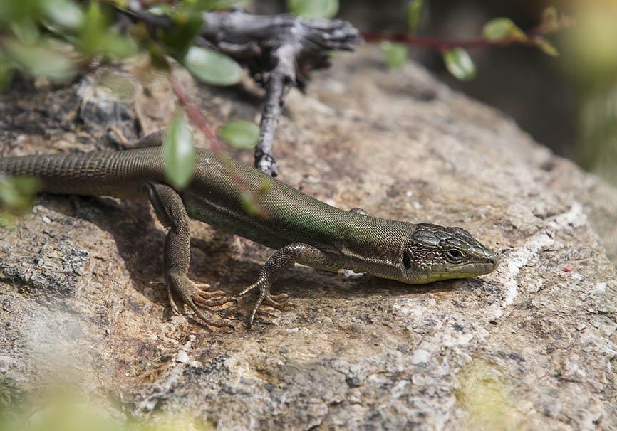 Podarcis erhardii  - Kykladeneidechse - Amorgos - Lacertidae - Eidechsen - Lizards