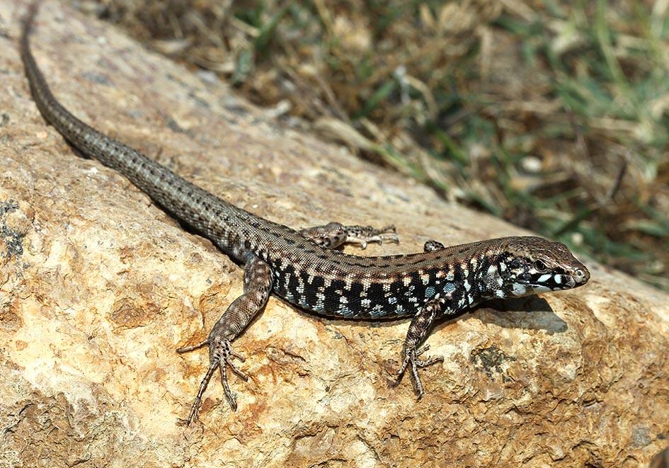 Podarcis milensis - Milos-Eidechse - Kimolos, Milos - Lacertidae - Eidechsen - Lizards