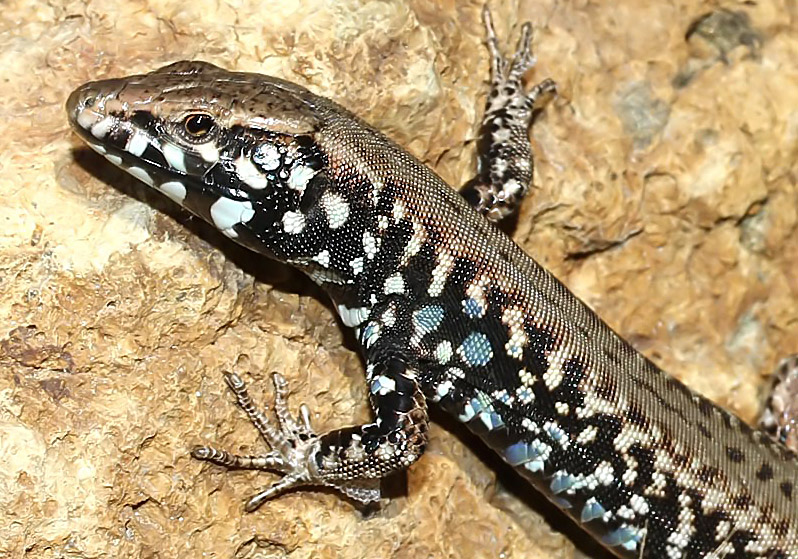 Podarcis milensis - Milos-Eidechse - Kimolos - Lacertidae - Eidechsen - Lizards