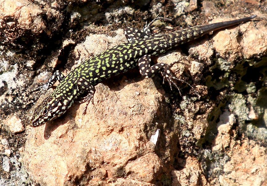 Podarcis muralis nigriventis - Toscana - Lacertidae - Eidechsen - Lizards