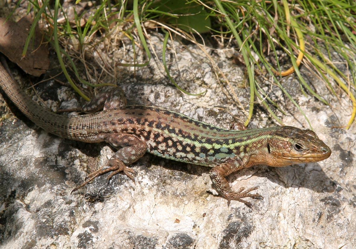 Podarcis peloponnesiaca - Peloponnesische Mauereidechse (male) - Mani (Peloponnes) - Lacertidae - Eidechsen - Lizards