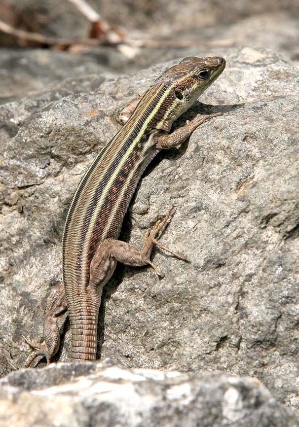 Podarcis peloponnesiaca - Peloponnesische Mauereidechse (female) - Mani (Peloponnes) - Lacertidae - Eidechsen - Lizards