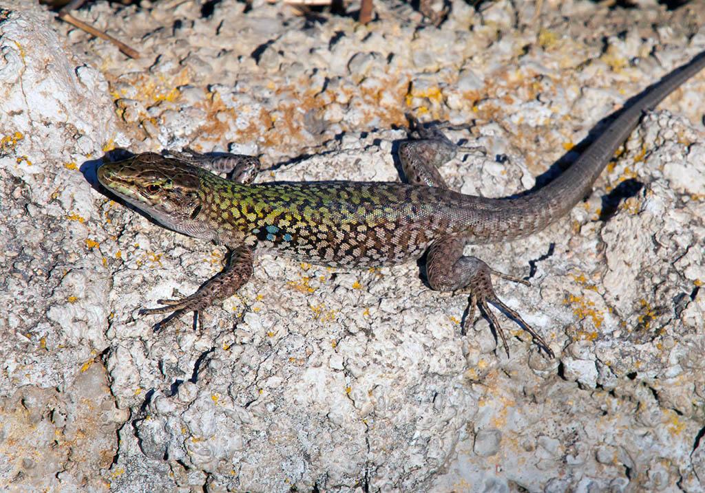 Podarcis sicula cettii - Ruineneidechse - Sardinien - Lacertidae - Eidechsen - Lizards