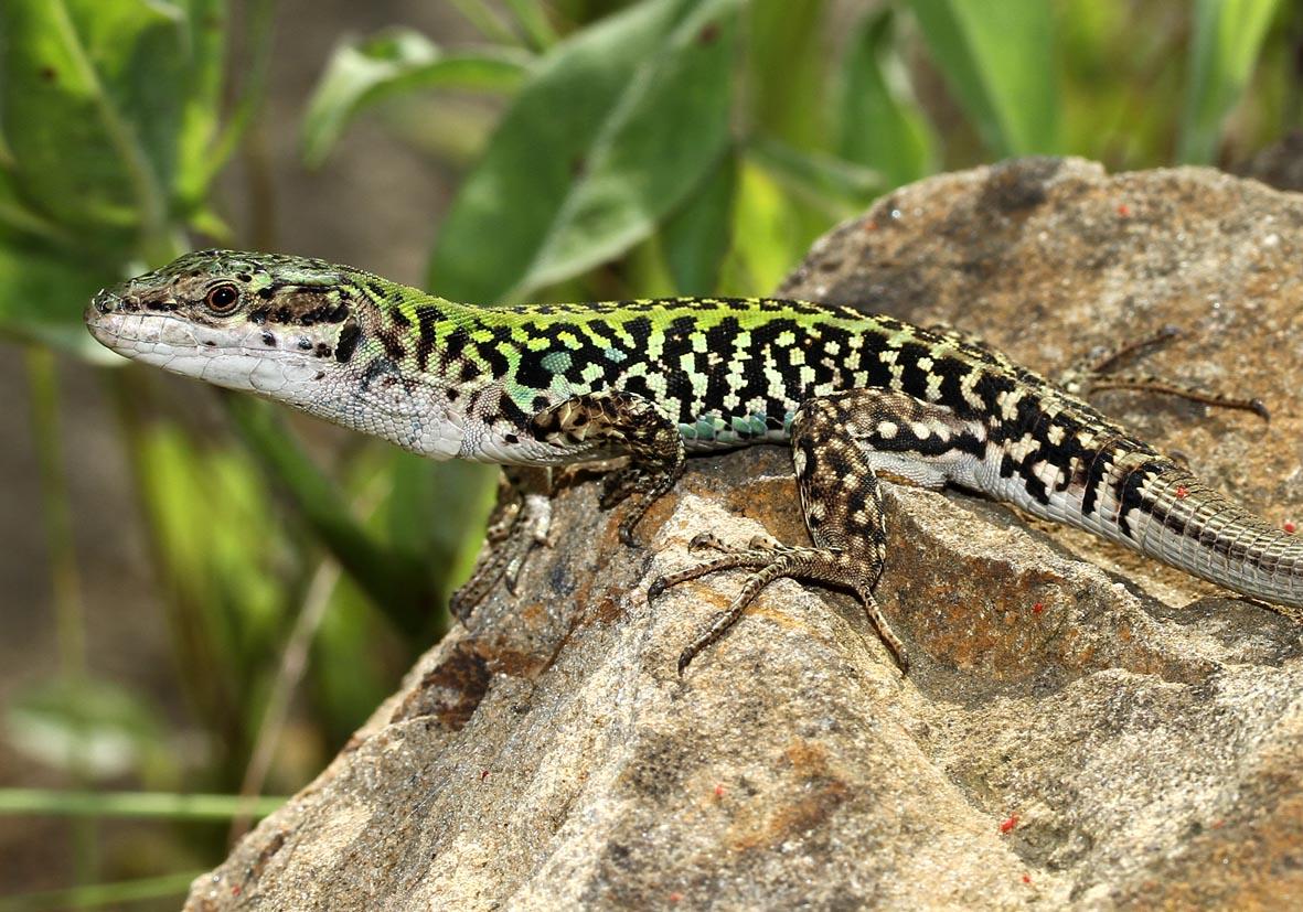Podarcis sicula - Ruineneidechse - Toscana - Lacertidae - Eidechsen - Lizards