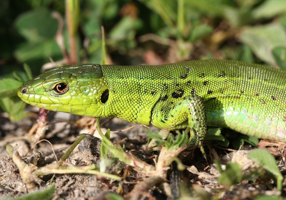 Podarcis taurica ionica - Taurische Eidechse - Korfu - Lacertidae - Eidechsen - Lizards