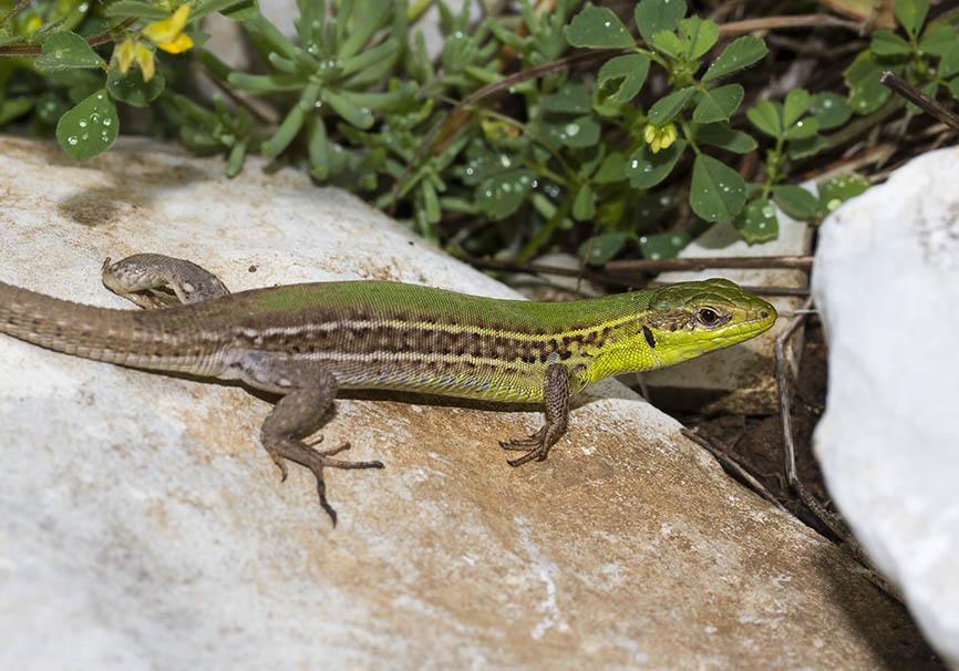 Podarcis tauricus ionicus - Taurische Eidechse - Zagori - Epirus - Lacertidae - Eidechsen - Lizards
