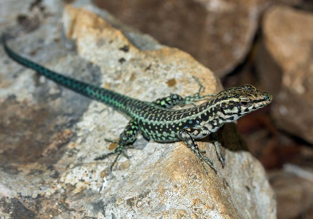 Podarcis tiliguerta - Tyrrhenische Mauereidechse - Sardinien - Lacertidae - Eidechsen - Lizards
