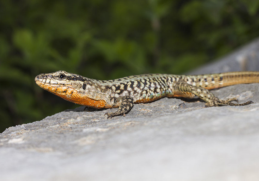Podarcis erhardii riveti - Zagori - Lacertidae - Eidechsen - Lizards