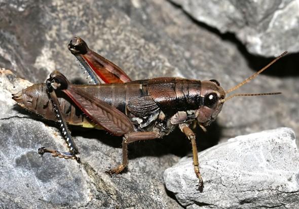 Podisma pedestris - Gewöhnliche Gebirgsschrecke - UFam. Catantopinae    - Weibchen - Acrididae - Feldheuschrecken - grasshoppers