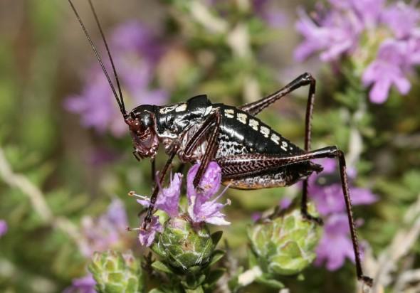 Poecilimon hamatus - Symi - Ensifera - Phaneropteridae - Sichelschrecken -