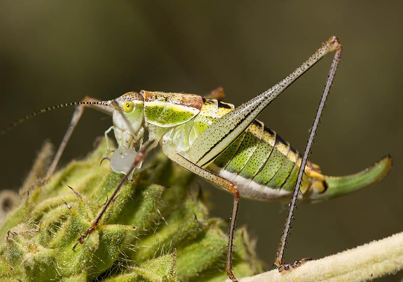 Poecilimon jonicus female  - Zarori (Griechenland) - Ensifera - Phaneropteridae - Sichelschrecken -