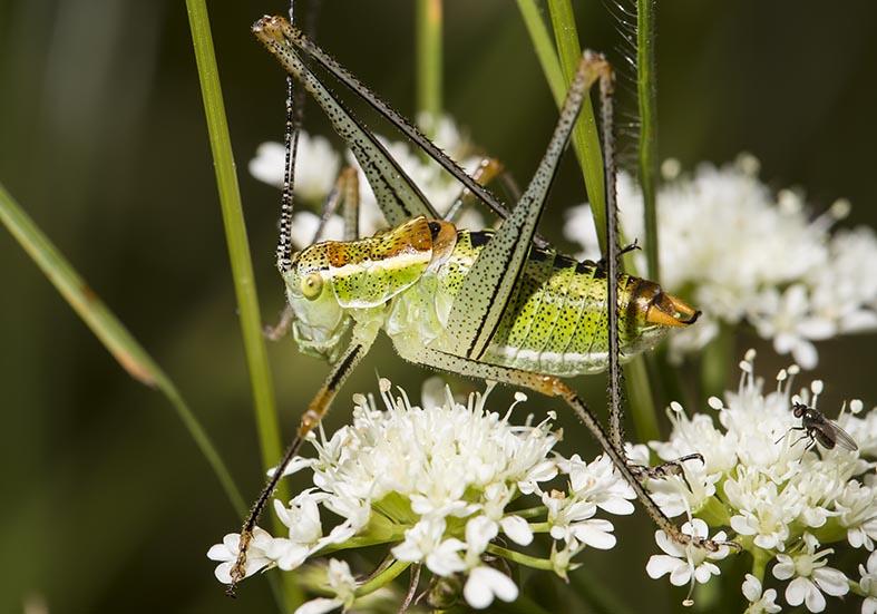 Poecilimon jonicus (male)  - Zarori (Griechenland) - Ensifera - Phaneropteridae - Sichelschrecken -