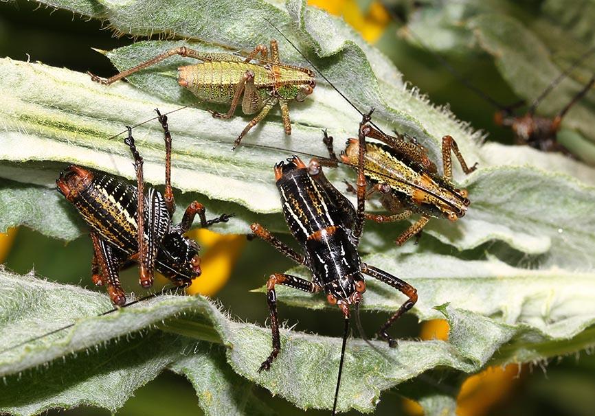 Poecilimon klausgerhardi (juv) - Andros - Ensifera - Phaneropteridae - Sichelschrecken -