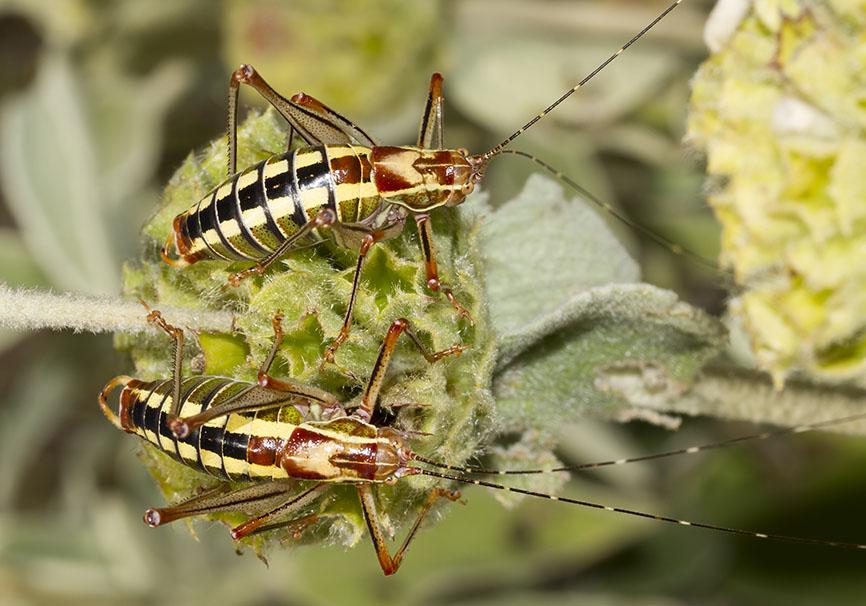 Poecilimon laevissimus (male) - Mittelgriechenland - Ensifera - Phaneropteridae - Sichelschrecken -