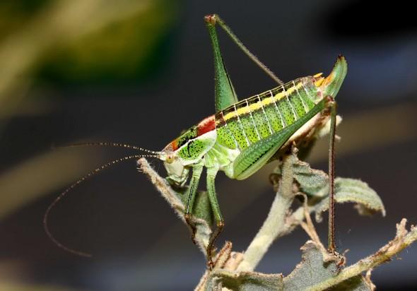 Poecilimon mytilenensis - Lesbos - Ensifera - Phaneropteridae - Sichelschrecken -