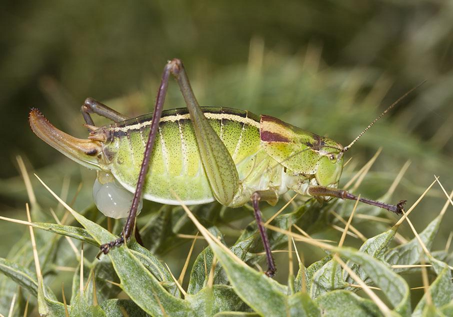 Poecilimon obesus (female) - Mittelgriechenland - Ensifera - Phaneropteridae - Sichelschrecken -