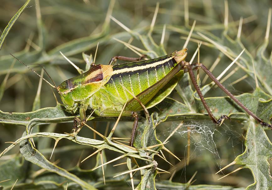 Poecilimon obesus (male) - Mittelgriechenland - Ensifera - Phaneropteridae - Sichelschrecken -
