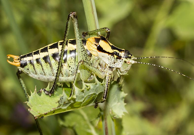 Poecilimon ornatus  male  - Südliche Buntschrecke - Kroatien - Ensifera - Phaneropteridae - Sichelschrecken -