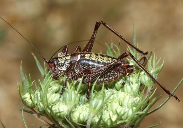 Poecilimon cf. paros - Serifos - Ensifera - Phaneropteridae - Sichelschrecken -
