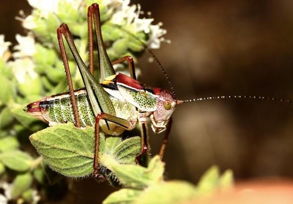 Poecilimon  sanctipauli - Samos - Ensifera - Phaneropteridae - Sichelschrecken -