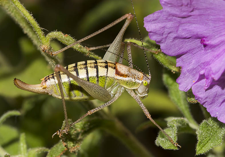 Poecilimon thessalicus (female) - Pilion (Griechenland) - Ensifera - Phaneropteridae - Sichelschrecken -