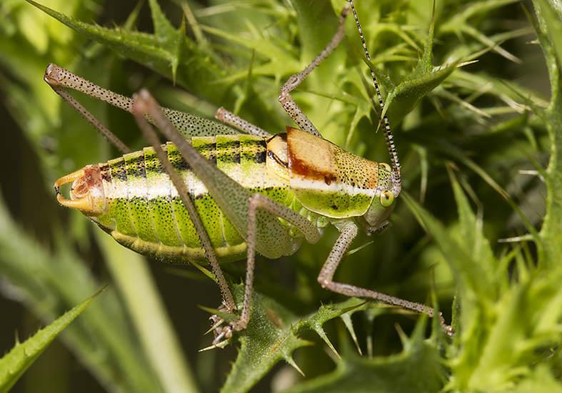 Poecilimon thessalicus (male)  - Pilion (Griechenland) - Ensifera - Phaneropteridae - Sichelschrecken -