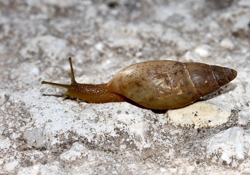 Poiretia sp.- Raubschnecke - Korfu - Gastropoda - Schnecken - snails
