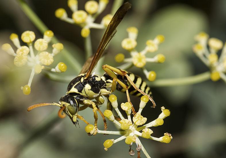 Polistes dominula   (male)   - Kos - Vespidae - Faltenwespen -wasps