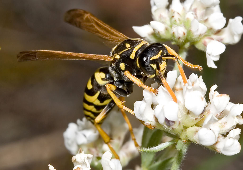 Polistes-dominula - Haus-Feldwespe -  - Vespidae - Faltenwespen - wasps