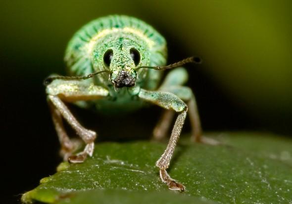 Polydrusus sp. - Grünrüssler -  - Curculionidae - Rüsselkäfer - weevils