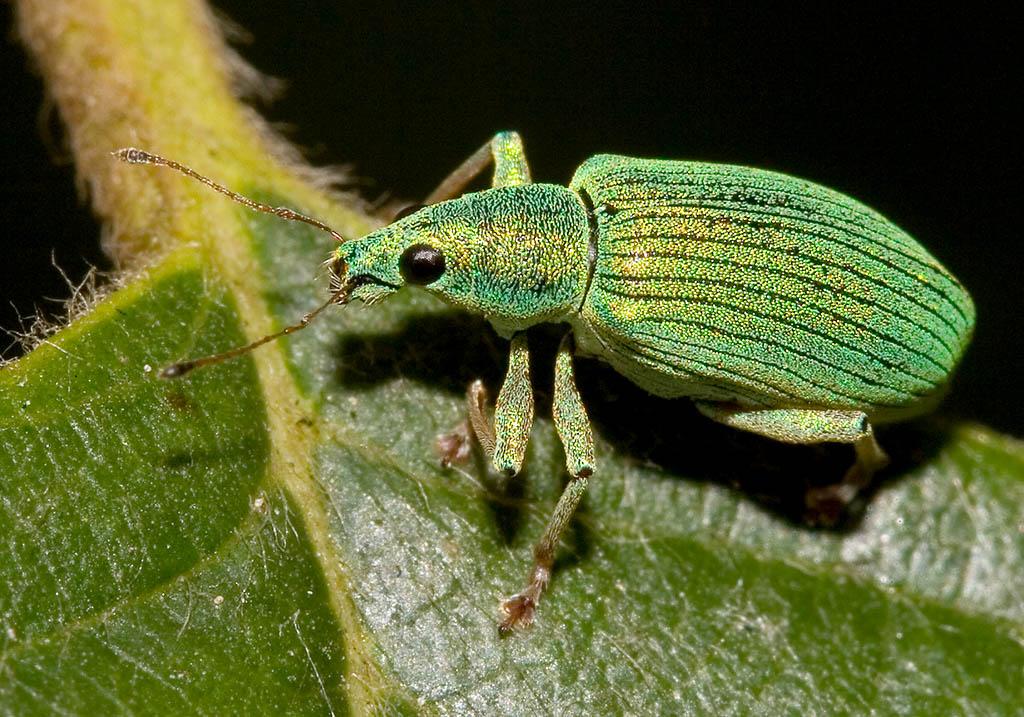 Polydrusus sp. -  - Curculionidae - Rüsselkäfer - weevils