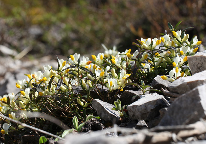 Polygala chamaebuxus - Buchsblättrige Kreuzblume - Fam. Polygalaceae - Wald - forest