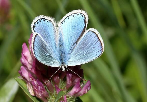 Polyommatus bellargus - Himmelblaue Bläuling -  - Lycaenidae - Bläulinge - gossamer-winged butterflies