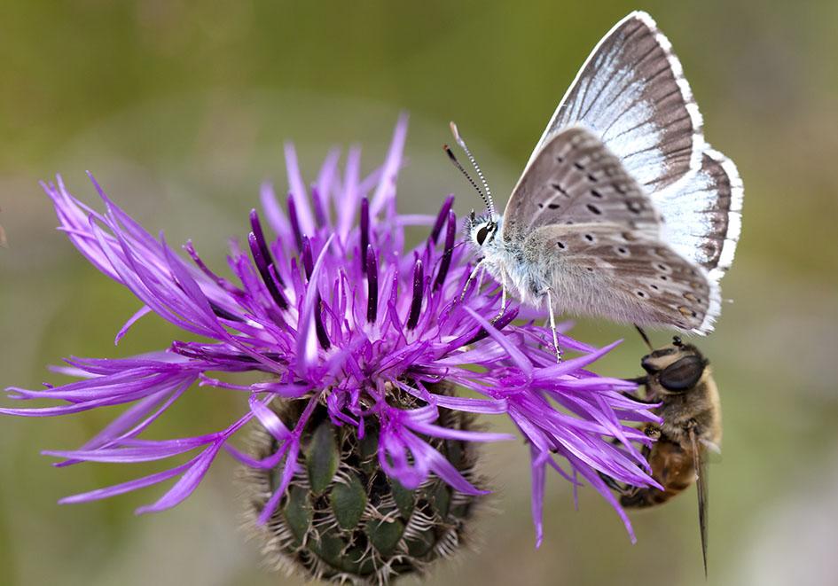 Polyommatus coridon - Silbergrüner Bläuling -  - Lycaenidae - Bläulinge - gossamer-winged butterflies