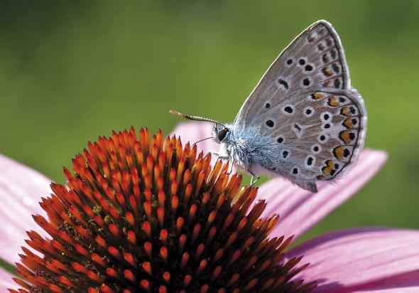 Polyommatus icarus - Hauhechel-Bläuling -  - Lycaenidae - Bläulinge - gossamer-winged butterflies
