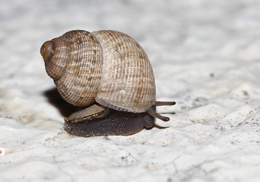 Pomatias elegans - Schöne Landdeckelschnecke - Korfu - Gastropoda - Schnecken - snails