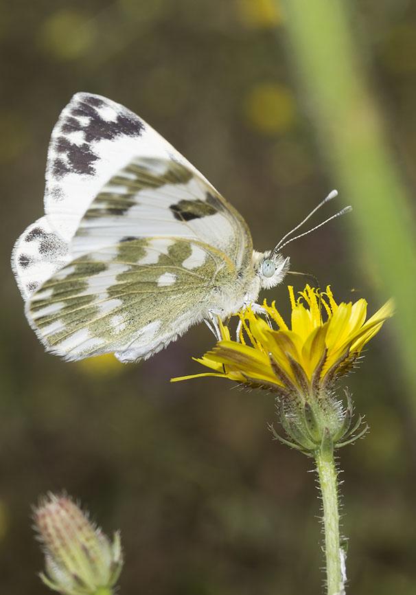 Pontia edusa   Resedafalter - Epirus - Griechenland - Pieridae - Weißlinge - whites