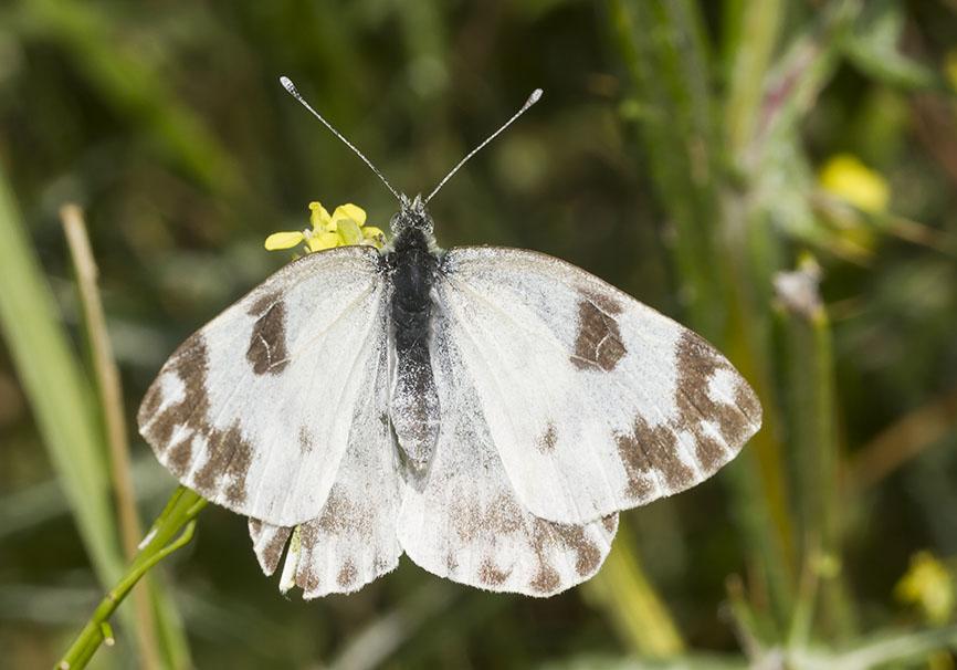 Pontia edusa - Resedafalter - Epirus - Griechenland - Pieridae - Weißlinge - whites