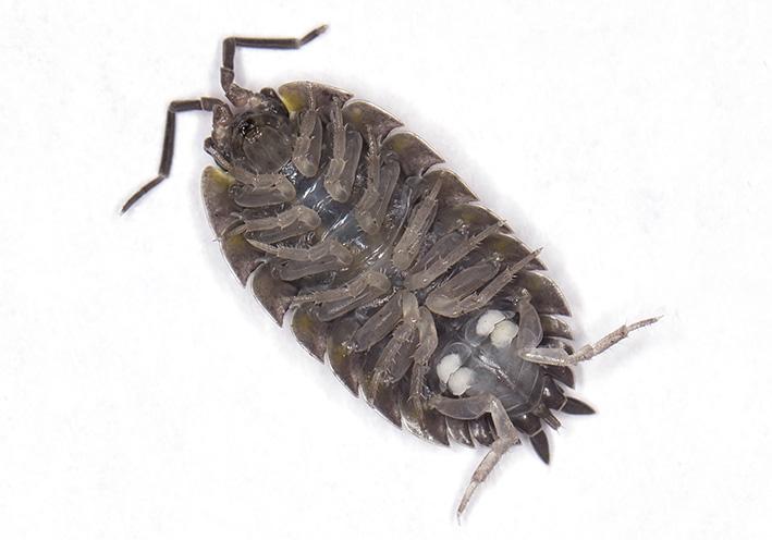 Porcellio scaber - Kellerassel  - Atmungsorgane - respiration - Isopoda - Asseln - woodlice