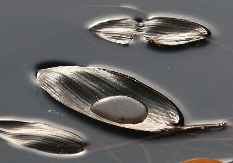 Potamogetum natans -  - See - lake