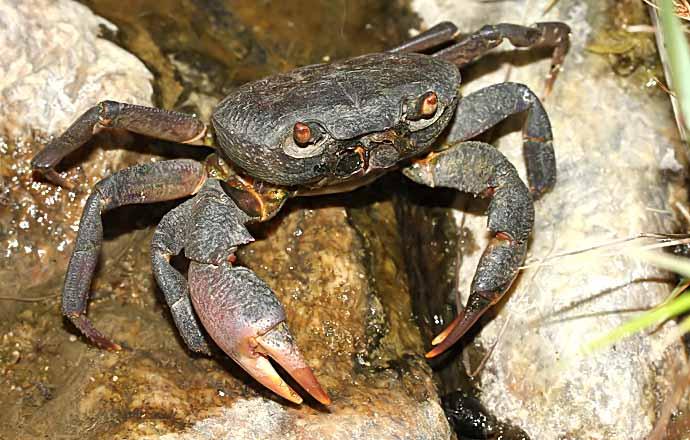 Potamon potamios - Süßwasserkrabbe - Naxos - Brachyura - Krabben - crabs