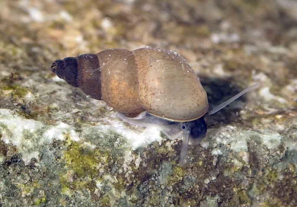 Potamopyrgus antipodarum - Neuseeländische Zwergdeckelschnecke - Ordnung:Sorbeoconcha, Fam. Hydrobiidae - Verschiedene Mollusken