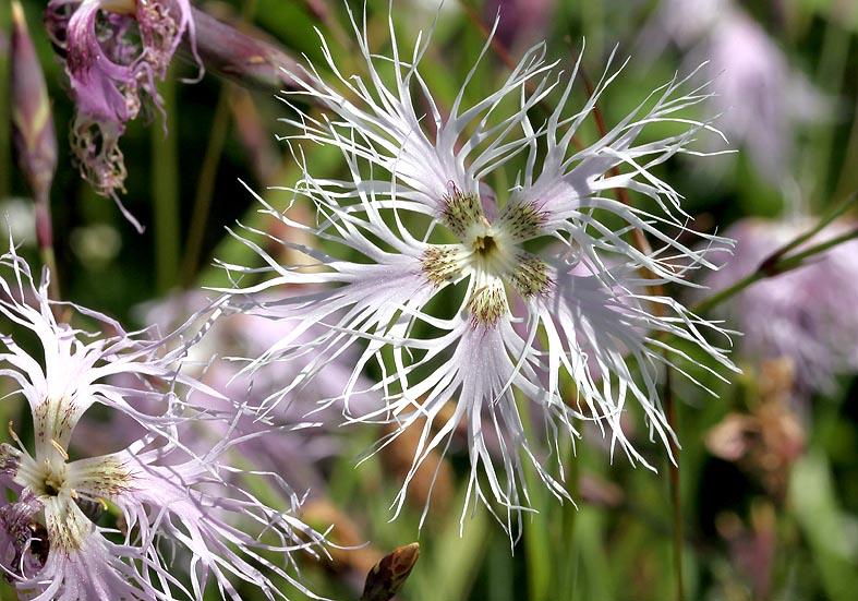 Dianthus superbus - Prachtnelke - Fam. Caryophyllaceae - Wiesen - meadows