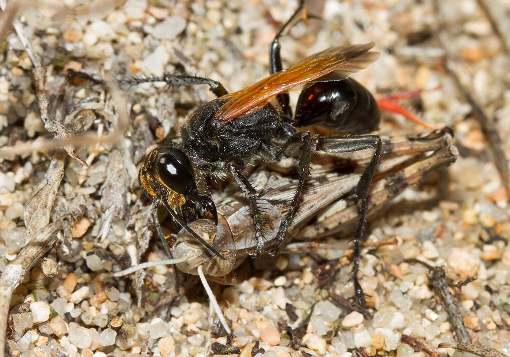 Prionyx subfuscatus - Sardinien, female - Sphecidae - Grabwespen - thread-waisted wasps