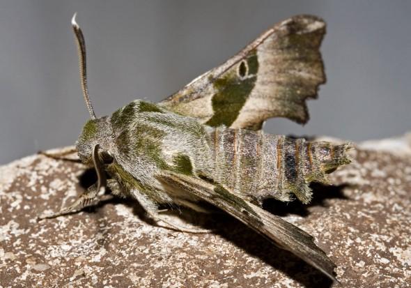 Proserpinus proserpina - Nachtkerzenschwärmer -  - Sphingidae - Schwärmer - hawk moths
