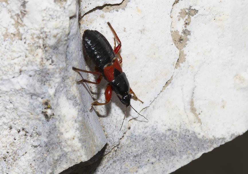 Prostemma guttula - Fam. Nabidae   (Sichelwanzen)  Zagori  -  Epirus - Heteroptera - Wanzen - true bugs