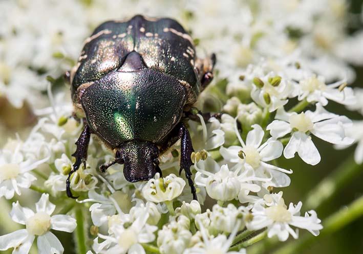 Protaetia cuprea -  Kupfer-Rosenkäfer - Fam. Cetoniidae - Scarabaeoidea - Blatthornkäfer - scarab beetles