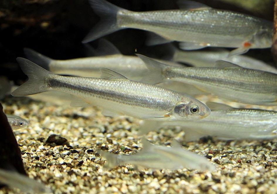 Protochondrostoma genei (Chondrostoma genei) - Lau  - Alpenzoo - Cypriniformes - Karpfenartige