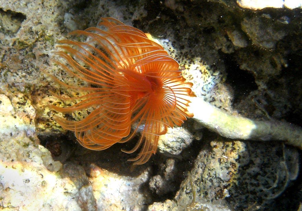 Protula-sp. - Kalkröhrenwurm -  - Polychaeta - Borstenwürmer - polychaets